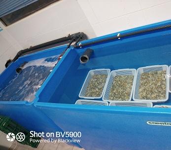 Depuradora de coquinas y almeja en Huelva